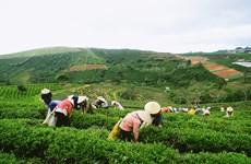 提高茶叶的经济效益:朝着价值链方向发展