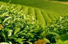 提高茶叶的经济效果:想方设法促进茶业可持续发展