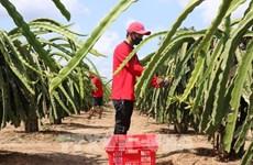 前江省米市县打造服务出口的火龙果主产区