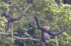 保护广南省灰腿白臀叶猴