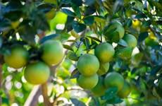 承天顺化省可持续发展南东橙子种植区