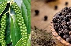 越南胡椒在韩国市场份额有所增加