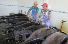 越南对中国的金枪鱼出口大幅增加