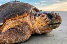 广平省将一重达120公斤海龟放归大海