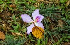 西北山区之美——羊蹄甲花为河内烘云托月(组图)
