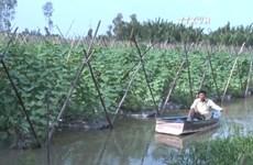 华裔农民将黄瓜代替水稻   收入倍增直奔小康