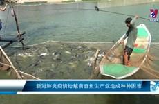 新冠肺炎疫情给越南查鱼生产业造成种种困难