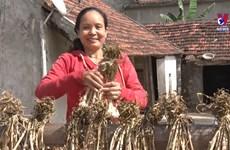 广平省巴屯紫皮大蒜种植模式带来较高经济效益