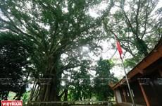 组图:伞园山圣庙的古榕树