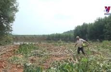 洪灾过后 乂安省尽快恢复农业生产活动