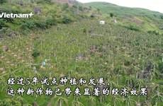 山萝省少数民族同胞靠种植火龙果脱贫致富