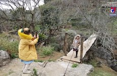 山罗省木州高原的白梅花与李花怒放一树白