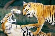 越南承诺积极参加老虎保护工作