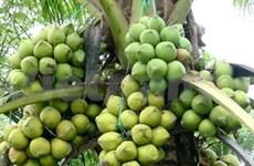 槟知省向新加坡出口1万个暹罗椰子