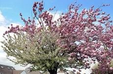 日本向河内市赠送500棵樱花树