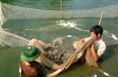 50万美元用于防治越南虾疾病