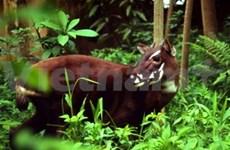 越南广南省设立武广牛(中南大羚)保护区
