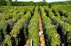 越南坚江省富国岛县着重发展胡椒树