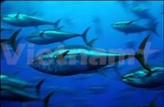 越南提高金枪鱼捕捞产业管理能力