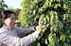 越南富国岛县胡椒努力获得Global GAP认证