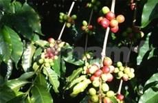 2012—2013年咖啡季越南将留下13%作为储备