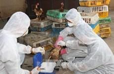 越南各省市主动预防禽流感蔓延