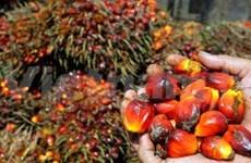 印度尼西亚:2014年棕榈油产量将猛增