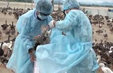 越南国产逾2亿剂甲型H5N1禽流感疫苗将投放市场