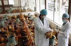 越南庆和省拨大款预防家禽与畜牧疫病发生