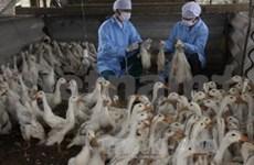 越南卫生部成立5个禽流感预防工作检查组