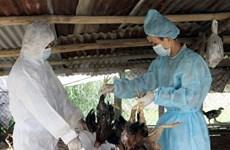 越南畜牧兽医局发放数百万剂预防禽流感疫苗