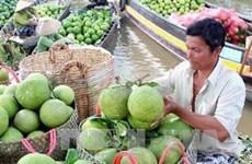 越南永隆省扩大五鞭柚子树种植面积