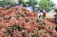 越南荔枝有望于2015年进军澳大利亚市场