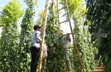 越南胡椒出口稳居世界第一
