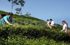 巴基斯坦——越南最大茶叶出口市场