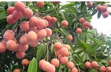 越南北江省大力促进农业生产集中化