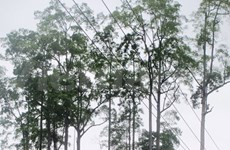 越南河江省九棵望天树被列入越南遗产树名录
