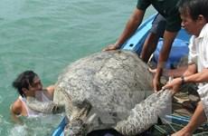 昆岛国家公园成为越南重要的海龟产卵及孵化地