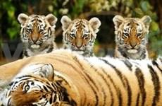 国际社会应为野生虎种群的恢复做出更大努力