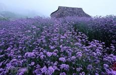 组图:沙巴霜雾中紫色浪漫马鞭草花丘吸引了大量游客的青睐