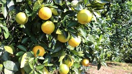 广治省有机橙子种植模式带动农民脱贫致富