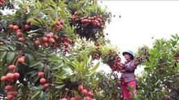 北江省多措并举 为向日本出口首批荔枝做好准备
