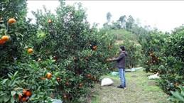 北件省完善红橘价值链  为少数民族带来稳定生计