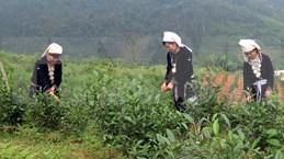 宣光省纳杭县强力推进山雪茶品牌树立