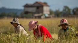 2020年柬埔寨大米出口量同比增长11.4%