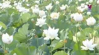 白莲花恣意绽放   吸引了当地居民和游客的眼球