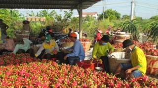 隆安省向LaviAgri公司出售100多吨火龙果