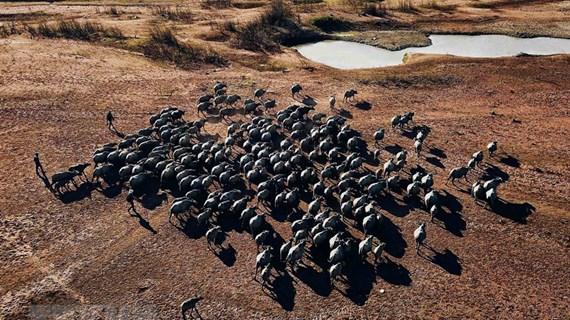 组图:石溪湖的数百只水牛令人印象深刻