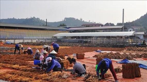 肉桂成为安沛省山区的脱贫致富之树