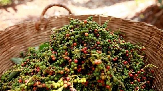 越南工贸部积极协助对尼泊尔出口胡椒的企业解决困难